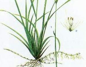 Bạch mao căn hay còn được gọi là cây cỏ tranh