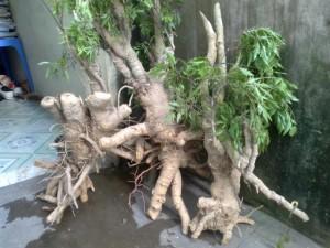 Rễ cây đinh lăng chữa vàng da, sỏi đường tiết niệu