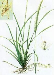 Rễ cây cỏ tranh chữa bệnh