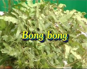 Rễ cây bòng bong làm thuốc trị bệnh viêm gan