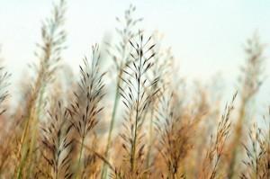Dùng rễ cây cỏ may để làm thuốc