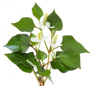 Các thảo dược quý giúp điều trị bệnh trĩ
