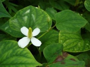 Phương pháp tự điều trị bệnh trĩ bằng 3 loại thảo dược