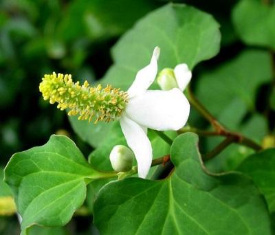 Những cây thuốc Nam điều trị bệnh trĩ hiệu quả
